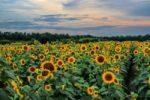 manchester-sunflowers
